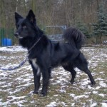 Hund Lino Border-Collie-Mix 250