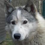 Hund Lupo Husky Kopfstudie