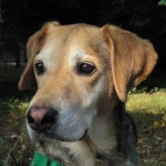 Hund Teddy DSH x Beagle Kopfstudie