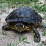Kleintier Gelbwangenschmuckschildkröte