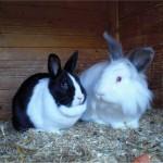 Kleintier Kaninchen Gipsy Max