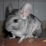 Klt Chinchilla Erny