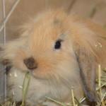 klt-kaninchen-47-16-toffee_kopf