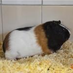 Klt Meerschweinchen 11-15 Luzy