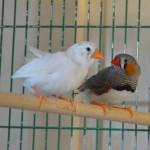 Klt Vogel Zebrafinken1
