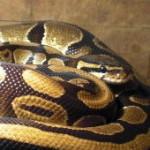 reptil-koenigspython-alex