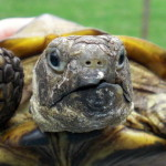 Reptil Landschildkröte 26-16 Hanni
