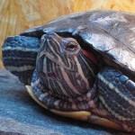 Reptil Rotwange Kopfstudie 85-15 Elfriede