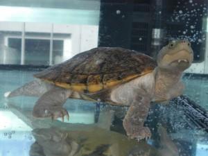 Reptil 15-16 Elseya spec
