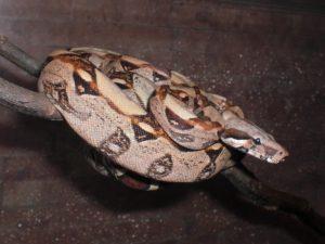 reptil-boa-constrictor-jungtier