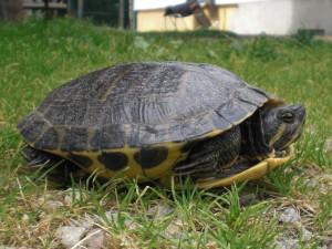 Reptil Cumberland 53-16