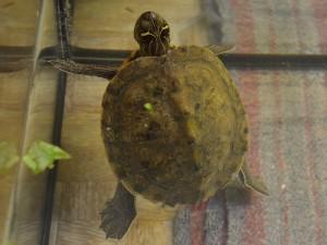 Reptil Falsche Landkartenschildkröte