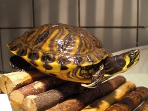 reptil-gelbwange-59-16
