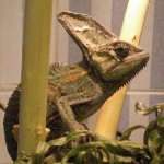 Reptil Jemen-Chamaleon männlich Florian 2