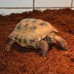 Reptil Landschildkröte griechisch Knut