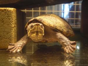 Reptil Moschusschildkröte ET