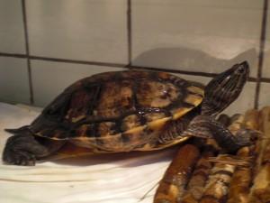 reptil-rotwangen-schmuck-sk-80-16