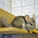 Chinchilla Paula