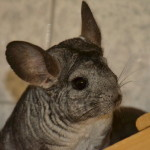 klt-chinchilla-60-16-summer_kopf