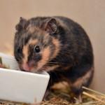 Klt Hamster 98-15 Peggy
