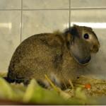 Klt Kaninchen 23-15 Lotti
