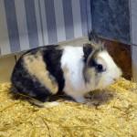 Klt Kaninchen 40-15 Jerry