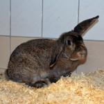 Klt Kaninchen 59-15 Wilma