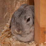 Klt Kaninchen 92-15 Lotte1