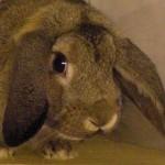 Klt Kaninchen Kiki Widder w Kopf