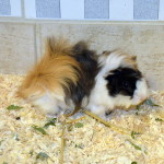 Klt Meerschwein 54-15 Elvis