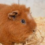 Klt Meerschweinchen 89-15 Paul_Portrait