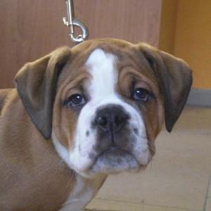 Hund Mepsi Engl Bulldog Portrait
