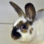 Klt Kaninchen 35-16 Hannes