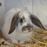 Klt Kaninchen 31-16 Donald