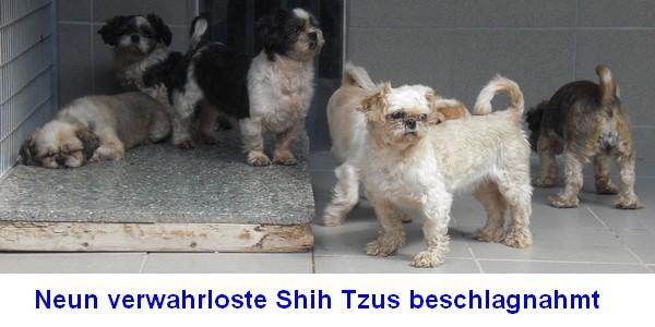Beitrag Shih Tzus