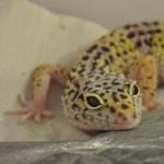 Gecko Lea