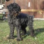 Hund Blacky Zwergschnauzer-Mix