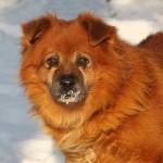Hund Fuchs Portrait TB