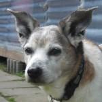 Hund Jacky Mix klein alt Portrait