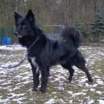 Hund Lino Border-Collie-Mix 250