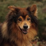 Hund Mäx Sheltie-Mix Portrait 2 TB