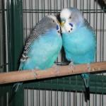Kleintier Wellensittiche Pärchen blau