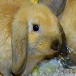 klt-kaninchen-49-16-twixx_kopf