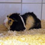 Klt Meerschweinchen 10-15 Mimi