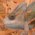 Reptil Chamäleon Lady
