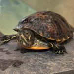 Reptil Gelbwange 94-15 Rosa