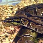 reptil-koenigspython-ulli