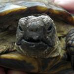 Reptil Landschildkröte 27-16 Nanni