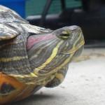 Reptil Rotwange Kopfstudie 109-14 Elsa