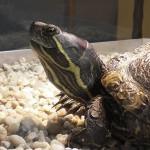 Reptil Rotwange Kopfstudie 88-14 Emilia